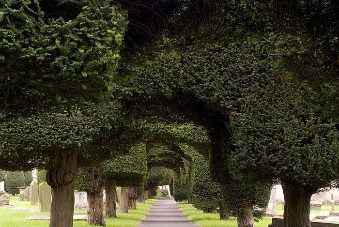 Yew Trees In The Churchyard At Painswick Gloucestershire