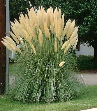 8 uses for ornamental grasses and wheat in your for Best tall grasses for privacy